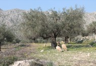 Sheep grazing in the olive groves