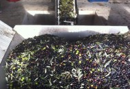 from the crate our olives are tipped into a cone where any leaves and debris we missed are removed.  Then they get washed.
